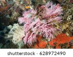 Small photo of Colorful hydrozoa, Stylaster sp., Sulawesi Indonesia