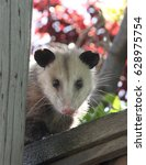 Opossum On Backyard Fence In...