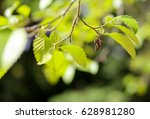 Small photo of Cones and twig green leaves of a Red Alder (Alnus rubra), copy space, blurred background