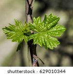 young leaves of grapes