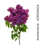 Lilac Flower Isolated On White...