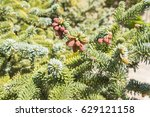 Small photo of Abies pinsapo branches with fruits