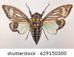 watercolor and ink cicada... | Shutterstock . vector #629150300