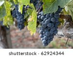 wine grape clusters ready for harvest, taken in mid october, Napa Valley wine country - stock photo