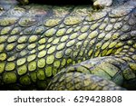 Small photo of The gharial detail (Gavialis gangeticus), also known as the gavial, and the fish-eating crocodile, is a crocodilian of the family Gavialidae, native to the northern part of the Indian Subcontinent.