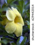 Small photo of Yellow allamanda, Allamanda cathartica, flower of the Apocynaceae family originating in Brazil and widely used in gardening