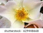 white dog rose flower with