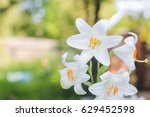 White Lily In The Garden