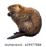 North American Beaver Isolated...