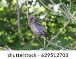 a baby cedar waxwing. | Shutterstock . vector #629512703