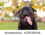 funny face of pug dog with... | Shutterstock . vector #629539436