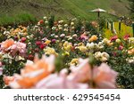 Stock photo rose garden in ooty colorful roses south india 629545454