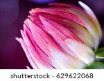 dahlia flower macro shot.... | Shutterstock . vector #629622068