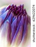 dahlia flower macro shot.... | Shutterstock . vector #629622074