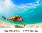 hawaiian green sea turtle... | Shutterstock . vector #629623856