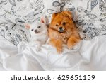 Stock photo cute funny pomeranian puppy lying on back together with little chihuahua on white pillows on bed 629651159
