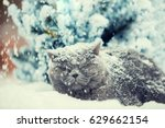 Stock photo cat siting in snow during blizzard near fir tree in winter cat covered with snow 629662154
