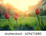 tulips blooming in park in... | Shutterstock . vector #629671880