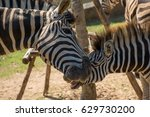 close up detail of a zebra... | Shutterstock . vector #629730200