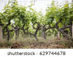 vineyard. grape trees farm.... | Shutterstock . vector #629744678