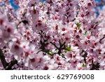 almond blossom tree  closeup...