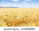 Field Barley In Period Harvest...