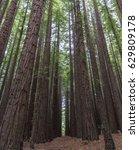 redwood forest  warburton ...   Shutterstock . vector #629809178