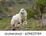 Welsh Mountain Sheep Ewe Keeps...