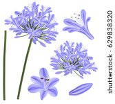 Blue Purple Agapanthus   Lily...
