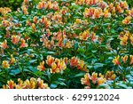 Small photo of Selective focus on Peruvian lily plants (Alstroemeria aurea).
