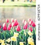 vintage tulips in a garden in... | Shutterstock . vector #629918714
