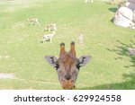 Small photo of Giraffe looking abreast with sheet and antelopes of bottom