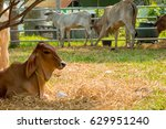cattle cow  farm in thailand | Shutterstock . vector #629951240