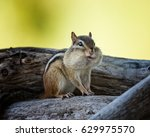 Fat Cheek Chipmunk