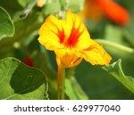 Nasturtium Orange Flowers In...