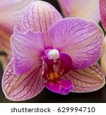 Small photo of Pink with stripes Orchid