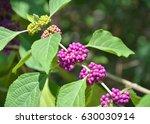 purple beautyberry plant... | Shutterstock . vector #630030914