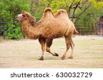 The Bactrian Camel Eating ...