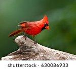 cardinal perched | Shutterstock . vector #630086933