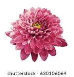 pink flower chrysanthemum. ... | Shutterstock . vector #630106064
