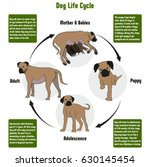 dog life cycle diagram with all ... | Shutterstock .eps vector #630145454