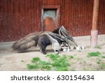 a couple of giant anteaters eat ... | Shutterstock . vector #630154634