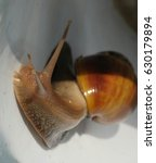 Small photo of close up of a large snail. Achatina snail in Thailand.