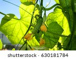 on the branch hang and ripen... | Shutterstock . vector #630181784