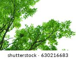 branch of green leaves and... | Shutterstock . vector #630216683
