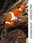 Clownfish  Amphiprion Sp. ...