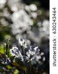 back lit fluffy plant in autumn ... | Shutterstock . vector #630243464