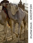 Small photo of Camels in Dubai desert sand dunesdesert, United Arab Emirates, concept for wildlife, holiday, environment advertorial ads.