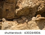 The Family Of Rock Hyrax Hiding ...