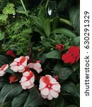 pink and red begonias | Shutterstock . vector #630291329